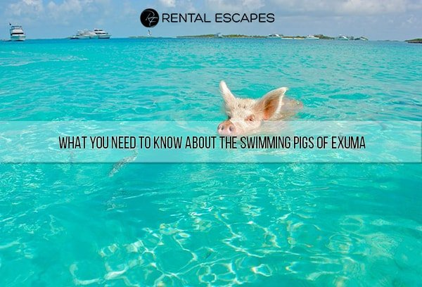 Everything you need to know about  the swimming pigs of Exuma